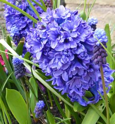 So So blue Hyacinth Spring Flowering Bulbs, Spring Plants, Spring Bulbs, Blue Hyacinth, Garden Plants, Shrubs, Beautiful, Shrub