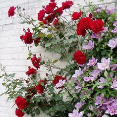 roses and clematis arbor - Google Search