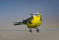 yellow wagtail by veilgaard via http://ift.tt/2qas2P1