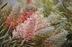 Beautiful Grevillea Flowers!