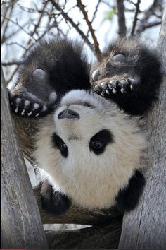 Love Me some pandas. (via / I give up… by Josef Gelernter) Cute Baby Animals, Animals And Pets, Funny Animals, Baby Pandas, Wild Animals, Giant Pandas, Red Pandas, Panda Bebe, Cute Panda