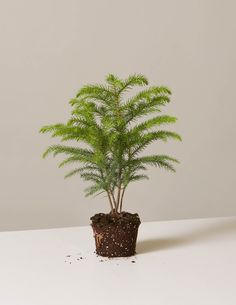 """4"""" Norfolk Island Pine 