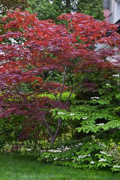 Bloodgood Japanese maple (Acer palmatum 'Bloodgood') offers beautiful dark red leaves that turn bright scarlet in the fall. Grows well in full sun or part shade. Slow growing to tall and wide. Acer Trees, Deciduous Trees, Acer Palmatum, Back Gardens, Outdoor Gardens, Bloodgood Japanese Maple, Bloodgood Maple, Japanese Maple Garden, Landscape Design