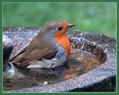 Robin having a bath - don't forget to ensure you have lots of fresh, clean water out for the birds when preparing for Big Garden #Birdwatch.