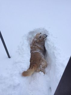 When this goof wanted to help you shovel but realized he wasn't that skilled yet. | 37 Times Golden Retrievers Proved They're Sunshine Dogs