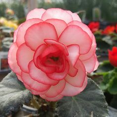 White tuberous begonia with rosy pink edges. These are such beautiful annuals!
