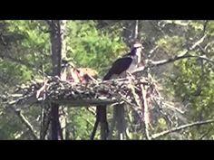 Osprey Morning 2015