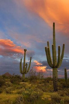 A saguaro cactus duo at sunset in Saguaro National Park (West), near Tucson, Arizona. (photo by Gerry Morgan, 2007 ... flickr.com/photos/backlitcoyote/1356976549/)