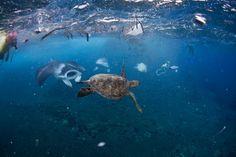 Photo of a manta ray and sea turtle swimming amongst trash.