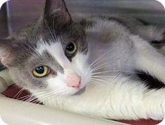 Westampton, NJ - Domestic Shorthair. Meet C-58815 Perry, a cat for adoption. http://www.adoptapet.com/pet/10924456-westampton-new-jersey-cat