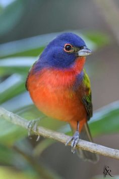 Bunting Bird, Painted Bunting, Pretty Birds, Beautiful Birds, Animals Beautiful, Tropical Birds, Colorful Birds, Bird Pictures, Great Pictures