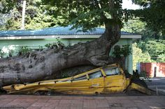 During Hurricane David in 1979, a Baobab tree in the Botanic Gardens of Dominica was blown over onto an empty school bus. The tree still continues to grow and thrive to this day. This scene was a vivid reminder of the power and resilience of nature. Photo by Grace Hassler.