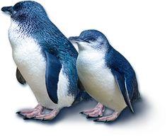 $20 Blue Penguin tour from Royal Albatross Colony