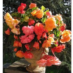 hese exclusive Giant Belgian Begonias are highly sought after because of their enormous blooms and dazzling variety of colours. The rose-like flowers can each measure up to 15cm across, and will create a riot of gorgeous colour wherever you plant them.
