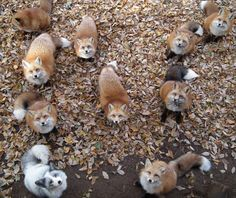 A gathering of foxes.
