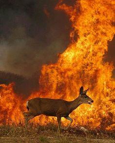A deer runs past flames from a wild fire in Devore, California in 2003.