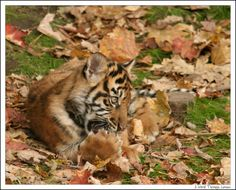 Tiger cubs are born blind, weighing about two pounds, and nurse for six months