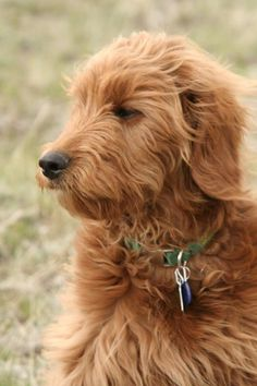 Goldendoodle Puppies for Sale Red Labradoodle, F1b Mini Goldendoodle, Labradoodle Puppies For Sale, Goldendoodles, Dogs And Puppies, Labradoodles, Doggies, Dog Smells, Dogs Golden Retriever