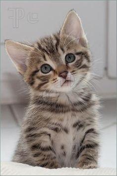 Baby kittens for Free | Baby Kitten