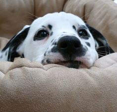 Dalmatian puppy ( Explore )