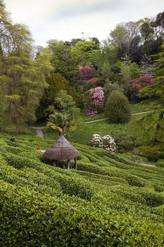 Gorgeous shot across the hedges at the blooming bushes and trees at Glendurgan Maze in Cornwall, England Amazing Maze, St Just, Parks, Cornwall England, England And Scotland, English Countryside, British Isles, Hedges, Great Britain