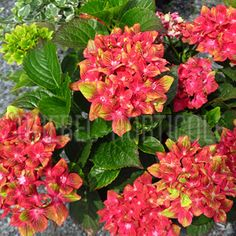 image de Hydrangea macrophylla Pistachio