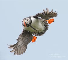 Puffin returning to colony on Gull Island in Witless Bay Newfoundland