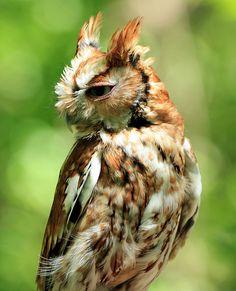Source: Flickr / sickboy54  #eastern screech owl