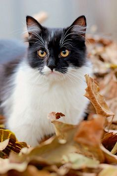 black & white cat in the leaves