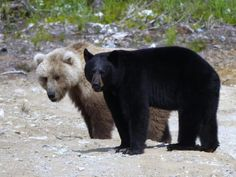 A rare photo of a black bear & a brown bear taken on June 10th, 2012 in Pedro Bay.