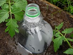 Bottle Drip Irrigation - good idea for the tomatoes!