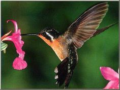 Here in Central Pennsylvania, bird-watchers await anxiously the return of the Ruby-Throat Hummingbirds each year.