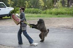Nature Picture Library - Chacma Baboon (Papio ursinus) stealing rhubarb from shopper, Cape Town, South Africa. Sequence 2 of 6 - Cyril Ruoso Photo Writing Prompts, Writing Pictures, Writing Prompts For Kids, Writing Activities, Writing Tips, Funny Animal Videos, Funny Animals, Funny Videos, Crazy Animals