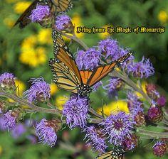 Helpful Tips for Creating a Monarch Butterfly Garden and Raising Monarch Butterflies