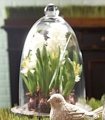 hyacinth bulb under glass dome, garden themed decoration