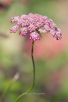 """Daucus carota """"Dara"""" is a colorful cultivar"""