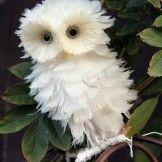 Little Owl – So Fluffy