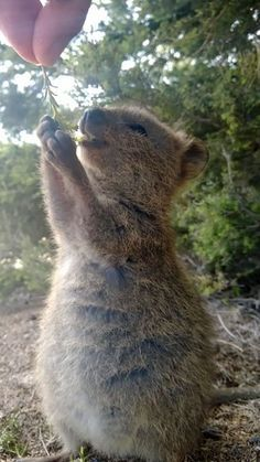 Happy Animals, Animals And Pets, Funny Animals, Cute Animals, Wild Animals, Cute Creatures, Beautiful Creatures, Animals Beautiful, Quokka Baby