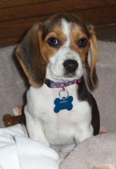 Snickers the Beagle