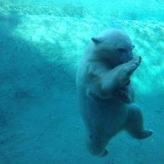 Swimming polar bear cub