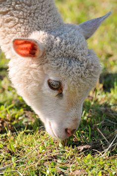 """The grass smells good"" by Tambako The Jaguar on Flickr ~ This is a cute little lamb grazing. Spring must be here."