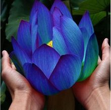 Flower seeds Blue Lotus Seeds Aquatic plants Water Plants Midnight Blue Lotus water lily plant for home garden 10pcs AA(China)