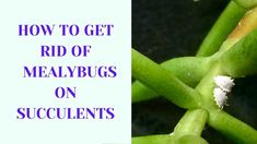 Having pest problems? Mealybugs are very common on succulents. But don't worry! Here is a complete guide to learn how to get rid of mealybugs Propagating Succulents, Planting Succulents, Mealy Bugs, Types Of Succulents, Succulent Care, Propagation, How To Get Rid, Tips, Blog
