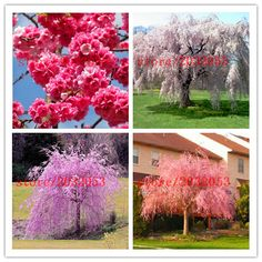 20 sakura seeds  fountain weeping cherry tree seeds,japanese bonsai  tree seeds for DIY Home Garden Dwarf Tree #clothing,#shoes,#jewelry,#women,#men,#hats,#watches,#belts,#fashion,#style