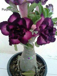 purple adenium