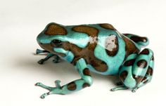 Green-and-black Poison Frog
