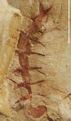 Fósiles de Chengjiang                                                       …