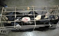 End the barbaric practice of bear bile farming.