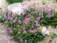 The greatest rock garden plants? Rockery Garden, Rock Garden Plants, Lawn And Garden, Garden Landscaping, Alpine Garden, Primroses, Rock Wall, Perfect Plants, Perennials