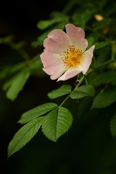 Detail of a single wild rose blossom. Detail of a single wild rose blossom. Ikebana, Wild Flowers, Beautiful Flowers, Rose Flowers, Exotic Flowers, Flowers Garden, Purple Flowers, Wildrose Tattoo, Dark Rose